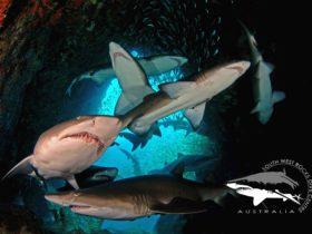 Grey Nurse Sharks in Fish Rock Cave