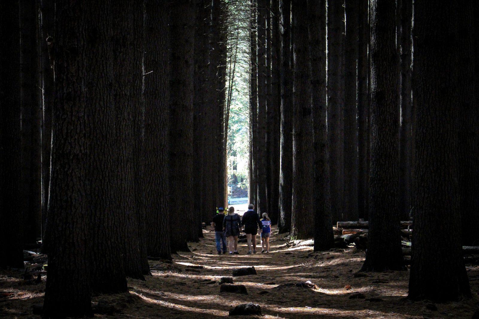 Sugar Pine Walk, Bago State Forest