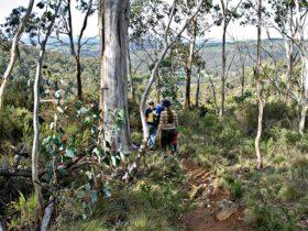 Summits walking track, Mount Canobolas State Conservation Area. Photo: Boris Hlavica
