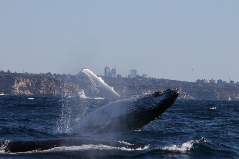 #Humpback Whale Breaching off Sydney Harbour