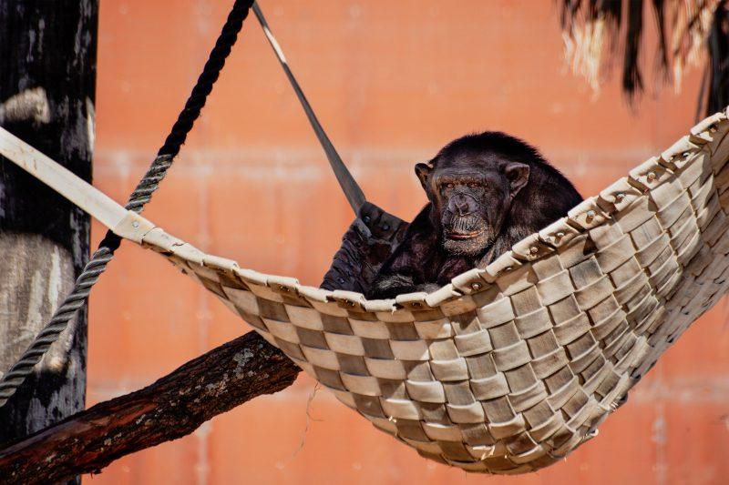 Chimp at Sydney Zoo