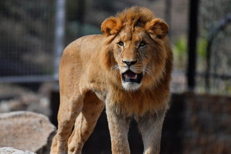 Lion at Sydney Zoo