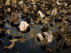 Tamara Dean 'Sacred Lotus (Nelumbo Nucifera) in Autumn