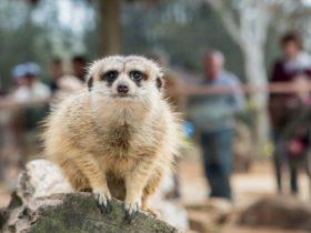 Meerkats at Taronga Western Plains Zoo