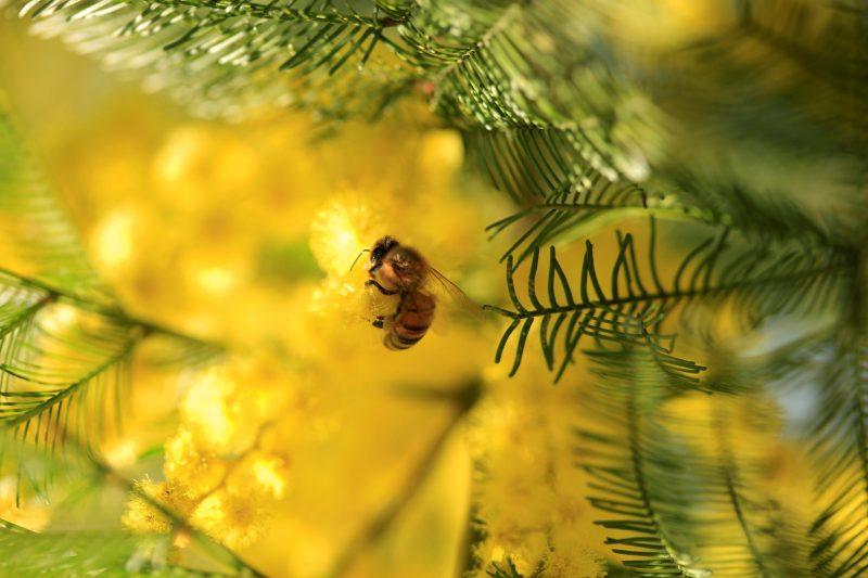 Bee in wattle