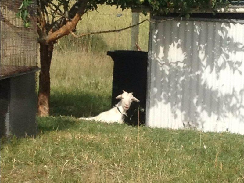 Pet Goat