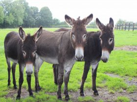 Good Samaritan Donkeys