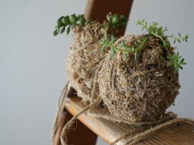 Kokedamas are plants in moss wrapped in string which can be hung.