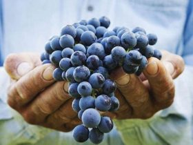 a bunch of purple grapes in a mans hands