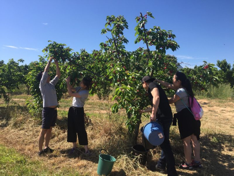 Pick your own cherries - what fun!