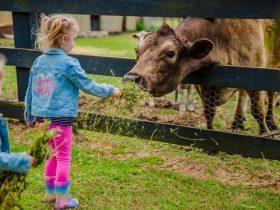 Tobruk Sydney hand-feed friendly farm animals
