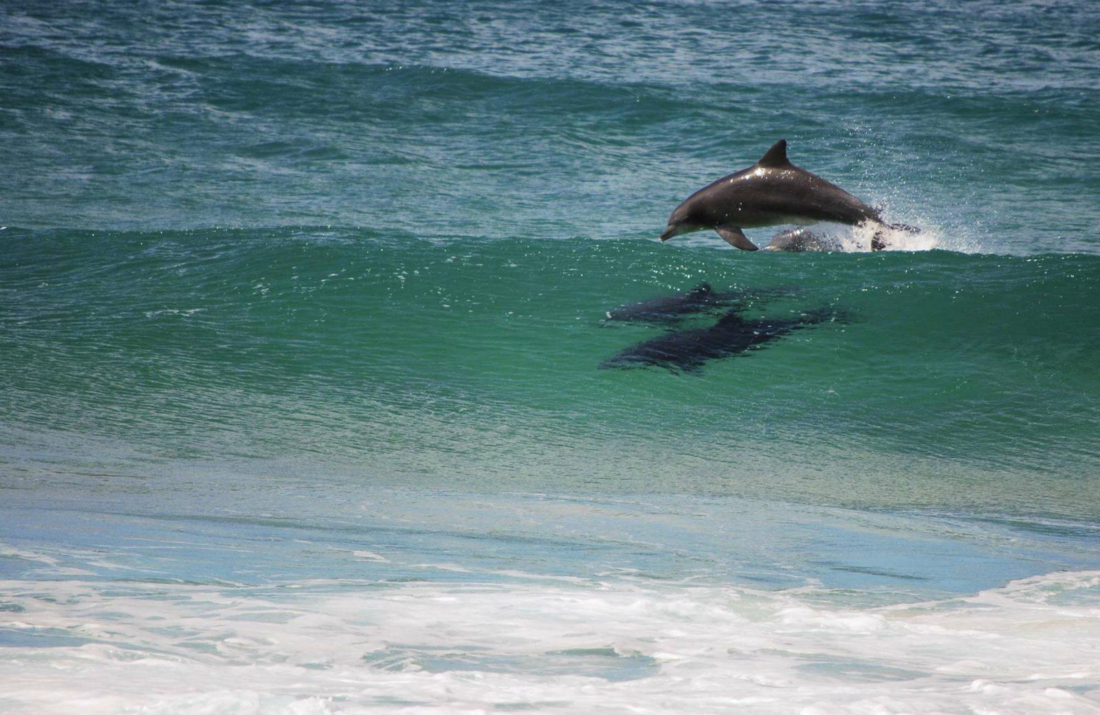 Dolphins, Turingal Head, Bournda National Park. Photo: Bournda Environmental Education Centre