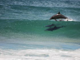 Dolphins, Turingal Head, Bournda National Park. Photo: Bournda Environmental Education Centre