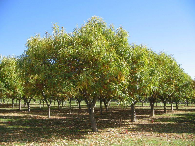 Chestnut trees in Autumn foliage