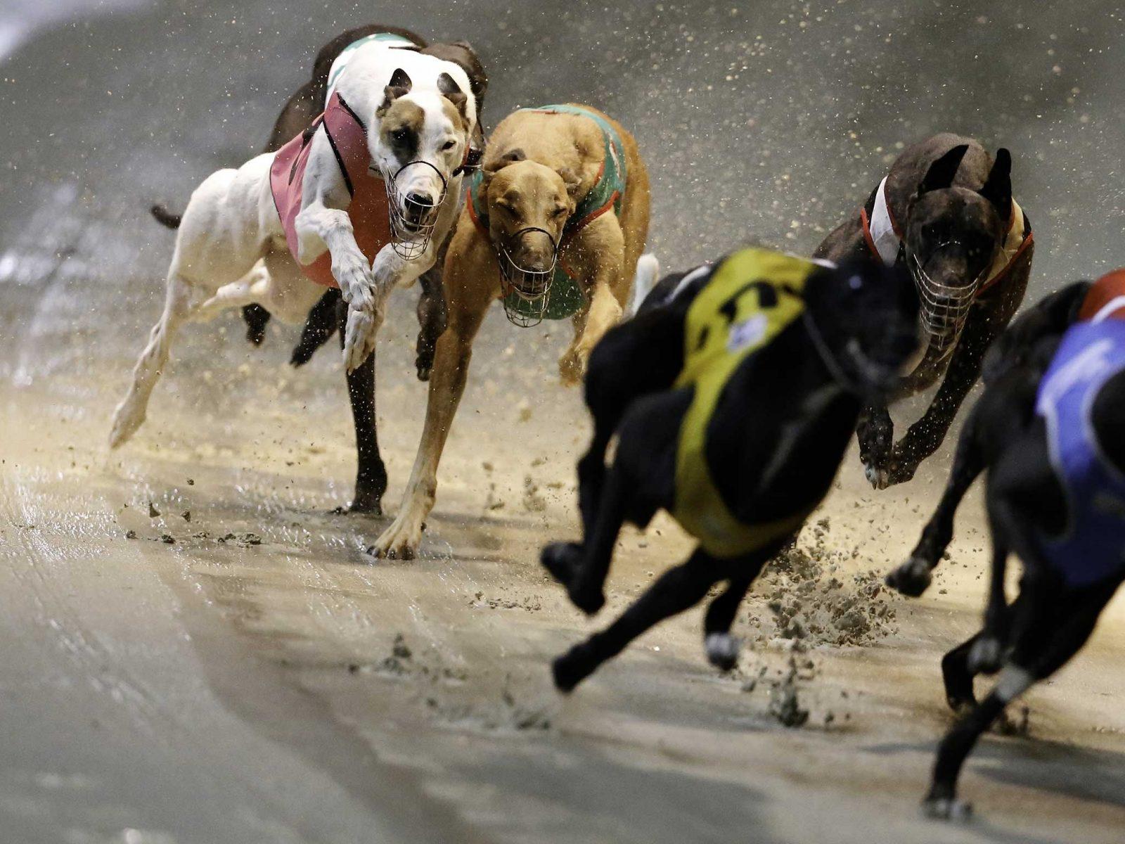 Greyhounds racing on sand track