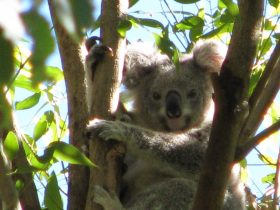 Koala on the Wildlife tour