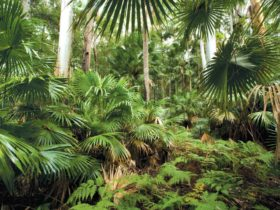 Sugar Palms, Wallingat National Park. Photo: Ian Brown/NSW Government