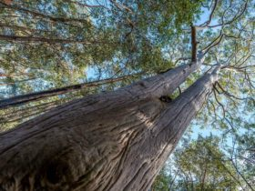 Towering trees, Wallumatta Nature Reserve. Photo: John Spencer