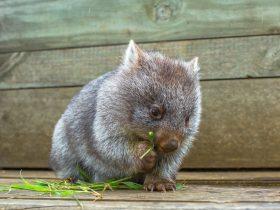 Wild Australia Wombat