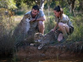 Wild Animal Encounters Cheetah