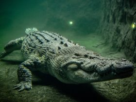 Rocky the Saltwater Crocodile