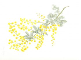 Botanical Art - Acacia 1 - Cheryl Hodges