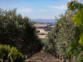 Olive grove at Wollundry Grove Olives near Wagga Wagga