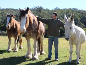 Yarramalong Clydesdales