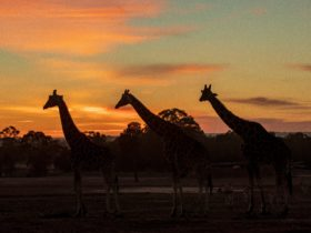 Sun rise over giraffes, Zoofari Lodge, Taronga Western Plains Zoo Dubbo