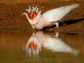 A Major Mitchell's Cockatoo turning up early in the morning for a drink at an outback dam .