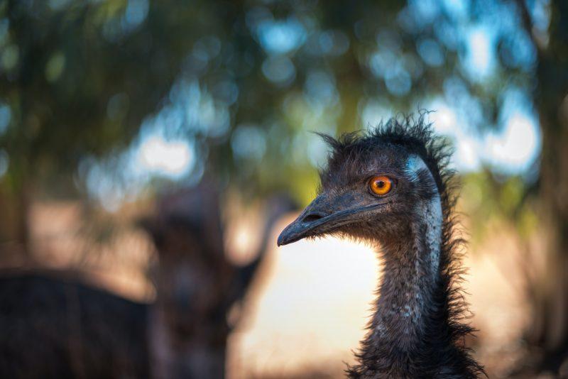 Close up photo of an emu