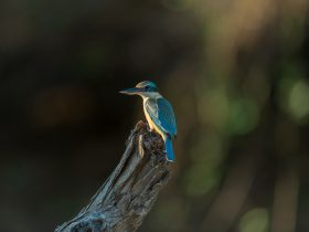 Sacred kingfisher, Kakadu National Park