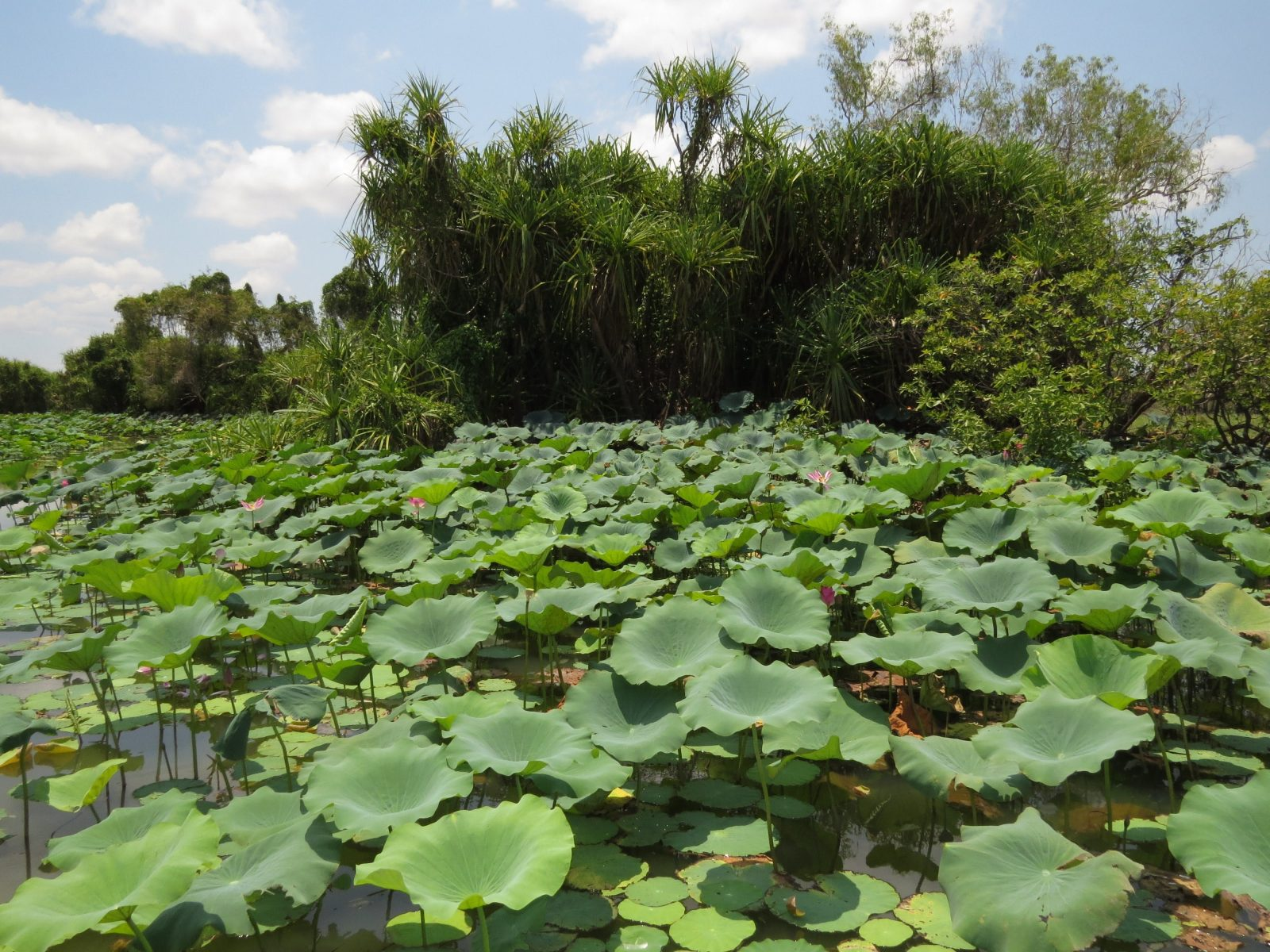 Water lilies on the Mary River