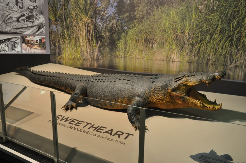 Sweetheart the croc at Museum & Art Gallery of the NT