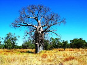 Boab tree, Bullita
