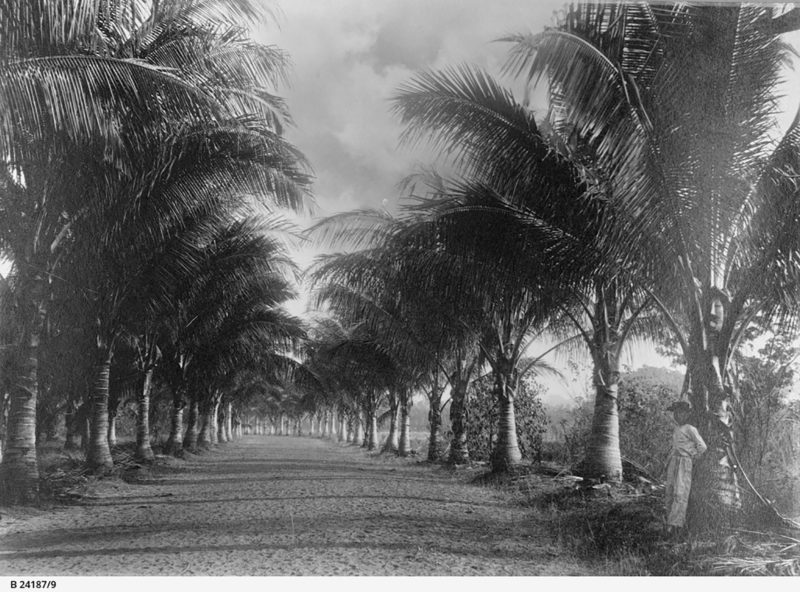 Coconut Avenue, Botanic Gardens, 1895.