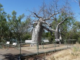 Gregory's Tree is surrounded by a boardwalk and interpretive signage.