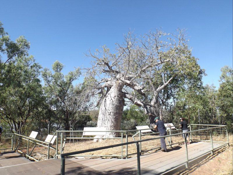 Gregory's Tree, June 2017