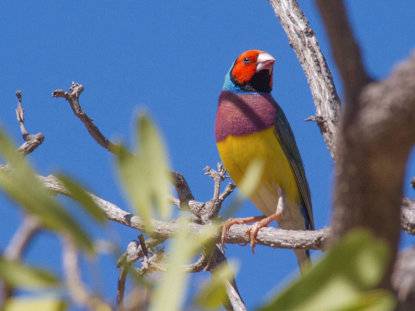 Gouldian finch, Kakadu
