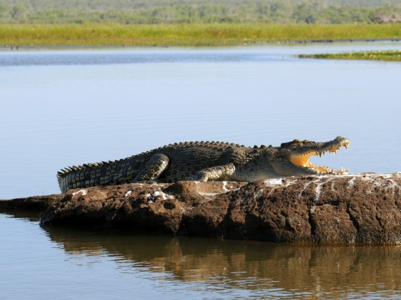Saltwater Crocodile, Davidsons Safaris, Northern Territory