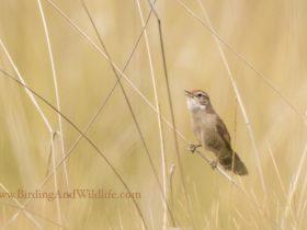 Spinifexbird spinifex outback bird birdtour birdwatching birding wildlife
