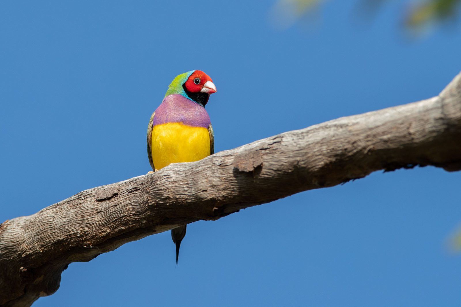 Gouldian Finch Bird Photography Tour
