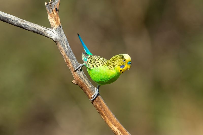 Photographing wild budgies with Luke Paterson
