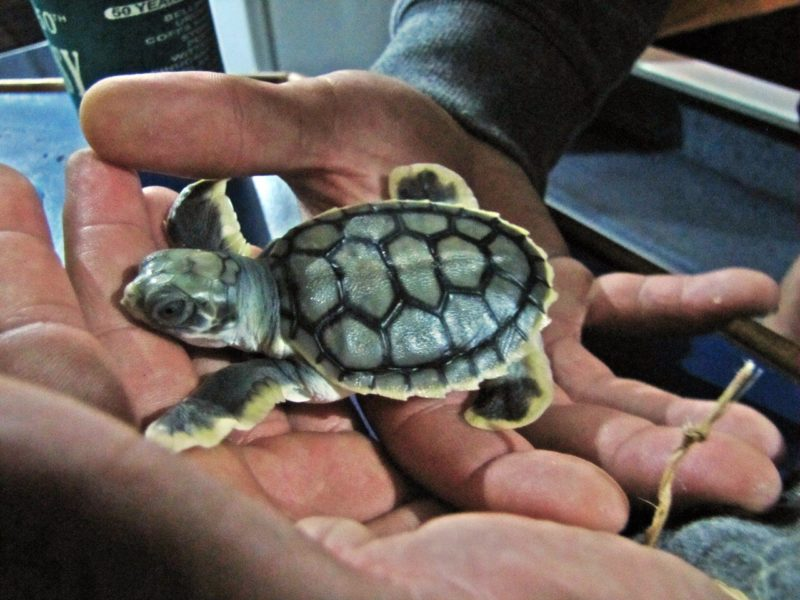Aboriginal guide's hands holding a baby flatback turtle hatchling