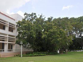 State Square Banyan Tree.