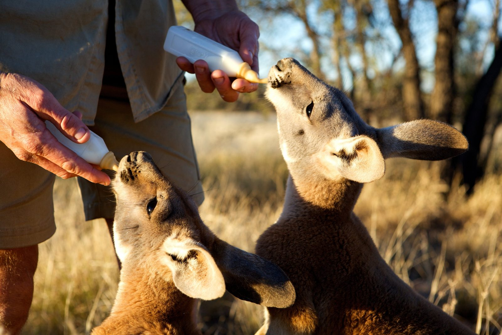Two kangaroo's being bottle-fed by a person