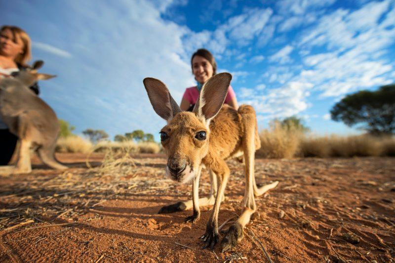 A kangaroo joey stares into the camera.