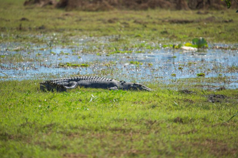 Saltwater crocodile sunning itself on green native grass filled bank