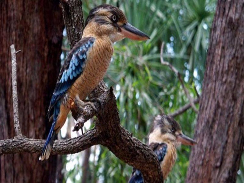 Kookaburra Kakadu NT