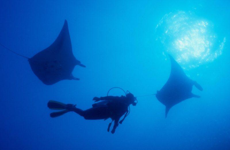 Manta Rays - Yongala Wreck